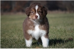 Picture of a Miniature American Shepherd Puppy