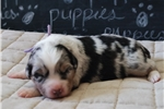 Picture of AKC,Purple Collar, Blue Merle, Female
