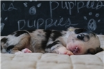 Picture of AKC,Yellow Collar, Blue Merle, Female
