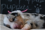 Picture of AKC,Pink Collar, Blue Merle, Female