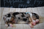 Picture of AKC,Blue Collar, Blue Merle, Male