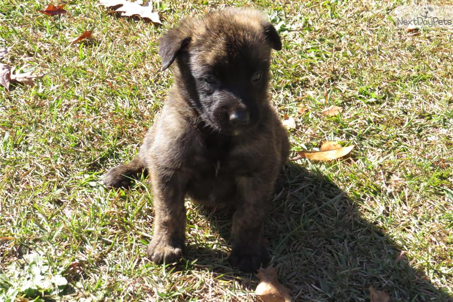 ... Dutch Shepherd Personal Protection For Sale Byron California Image