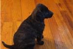 Picture of a Dutch Shepherd Puppy