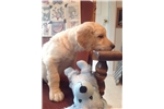 Picture of Goldendoodle F1b puppies are here!