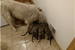 Picture of AKC registered Irish Wolfhound Puppies