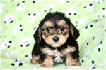 Picture of Hunter, Adorable Yorkshire Terrier/Poodle Puppy