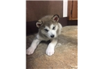 Picture of AKC Registered Alaskan Malamute puppy