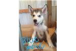 Picture of AKC Alaskan Malamue Puppy