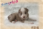 Picture of America ~ Toy/Small Mini Red Merle Female Aussie