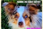 Picture of Flaming Dill Ranch Aussies