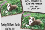 Picture of Bailey ~ Toy / Mini Red Tri Female Aussie Puppy
