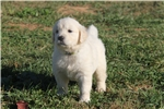 Picture of ICT clear English Golden Retriever