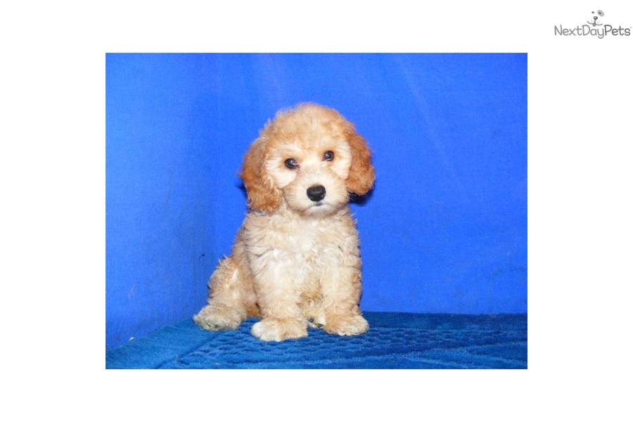 Cockapoo puppy for sale near Jonesboro, Arkansas ...