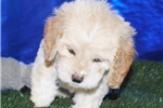 Picture of BISCUIT:  COCKAPOO MALE