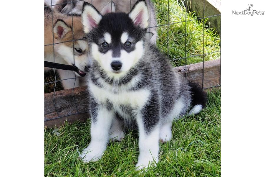 alaskan malamute puppies for sale in houston texas
