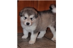 Picture of Missy's Female Puppy #3 ID 2665