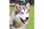 Picture of Dakota is being sold with full breeding rights