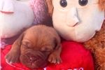 Picture of French mastiff puppy