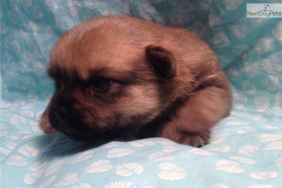 Pugapoo Puppy For Sale Near Salina Kansas 7f7f396d 30d1