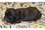 Vixen Bugg(Boston TerrierXPug) Health Guarantee | Puppy at 4 weeks of age for sale