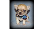 Picture of AKC Applehead Chihuahua Chapion lines, Health guar