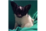 Picture of AKC small Papillon Male Timothy Home Raised