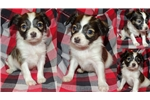 Picture of AKC Papillon Health Tested & Guaranteed