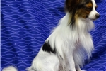 Picture of AKC STud OFA & DNA TEsted Proven