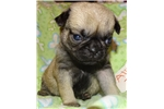 Picture of AKC Pug AliceFemale Fawn Sire OFA & DNA Tested