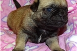 Picture of AKC Pug Esme Female Fawn Sire OFA & DNA Tested