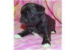 Picture of Gidget JaPug(Japanese Chin X Pug) Health Guarantee