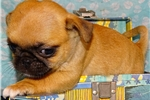 Picture of Japug (Japanese Chin & Pug) ACHC Registered DNA &