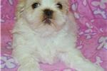 Picture of AKC Imperial Shih Tzu Puppy Health Guarentee