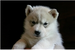 Picture of AKC-T-Yellow Collar/M