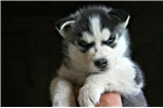 Picture of AKC-T-Sky Blue Collar/M/Deposit Recvd/On Hold