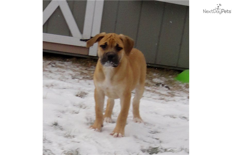 African South Boerboel For Sale For Near Madison Wisconsin