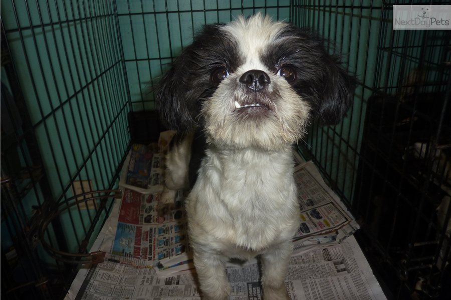 Japanese Chin Shih Tzu Mix Breed | Dog Breeds Picture