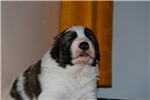TORNJAK PUPPIES | Puppy at 25 weeks of age for sale