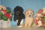 Picture of Purebred Teacup & Tiny Toy Poodle Puppies