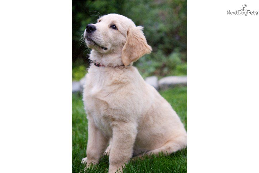 English Labrador Retriever Puppies For Sale In Ma