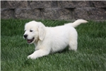 Picture of Pete - AKC, health tested parents