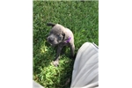 Picture of (GERTIE)  ICCF BLUE FEMALE CANE CORSO PUP