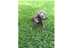 Picture of (AGNES)  ICCF BLUE FEMALE CANE CORSO PUP