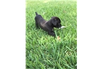 Picture of ICCF BLACK BRINDLE FEMALE CANE CORSO PUP