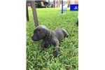 Picture of (BLUE)  ICCF BLUE MALE CANE CORSO PUP