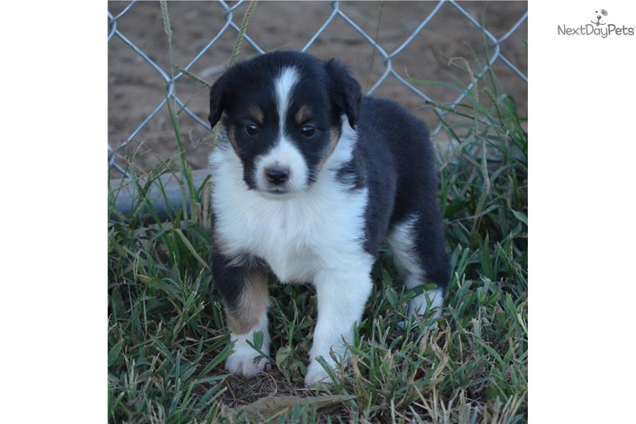 Miniature Australian Shepherd puppy for sale near Meridian
