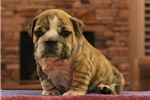 Picture of Ginger - www.suburbanbullies.com