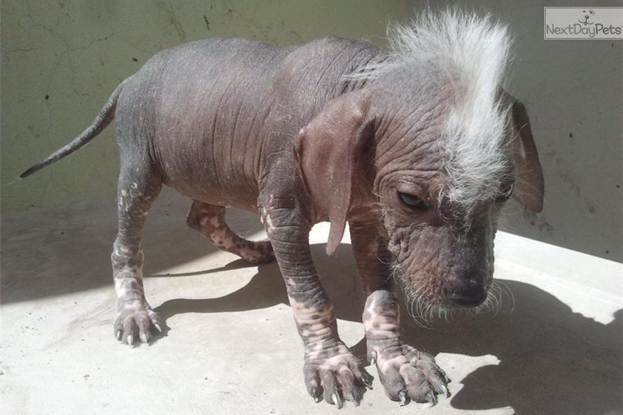 Xoloitzcuintli puppy for sale near El Paso, Texas | 6ef1d4c2-a9e1 Xoloitzcuintli On Sale