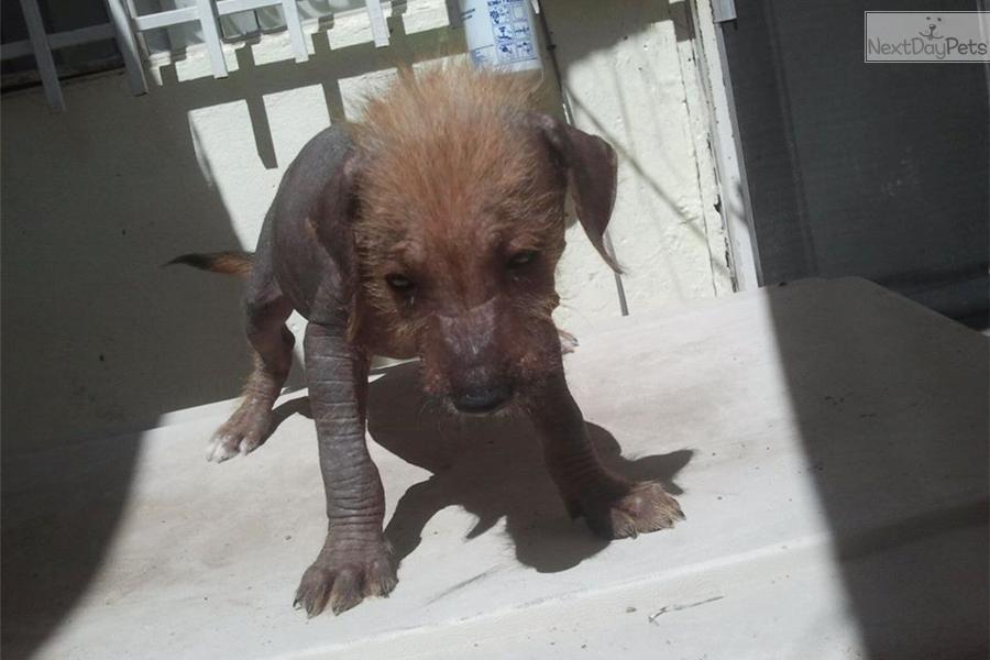 Xoloitzcuintli Puppy For Sale Near El Paso Texas 2790e75a Fae1 Xoloitzcuintli For Sale In California
