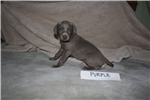 AKC registered Pups | Puppy at 5 weeks of age for sale
